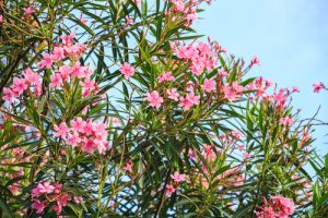 Nerium Oleander plant used in the anti-aging skin care formula NAE-8